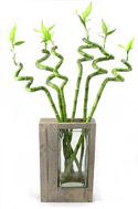 Glucksbambus Zimmerbambus Chinesischer Bambus Geschenkideen Zu