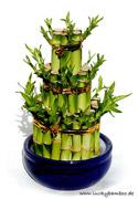 gl cksbambus zimmerbambus chinesischer bambus. Black Bedroom Furniture Sets. Home Design Ideas